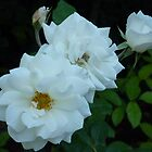 The White Roses of Cap Ferrat by Fara