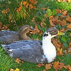 Autumn ducks! by weecritter