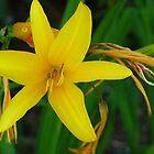 The Yellow Lily Of Cap Ferrat by Fara