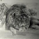 Lion Dawn by Dave  Butcher
