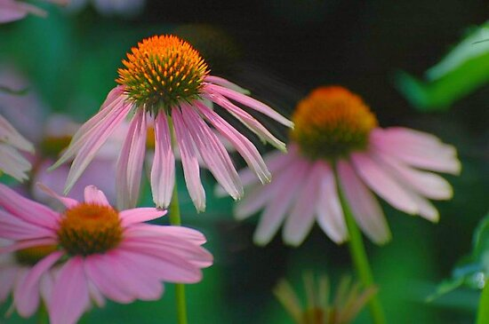echinacea and a beautiful blur... by dabadac