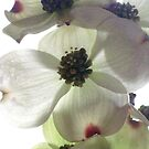 Dogwood Blooms by Barbara Wyeth