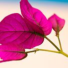 Bougainvillea by Paul Richards
