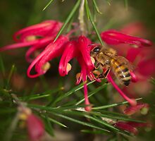Grevillia Flower and Bee by pcbermagui