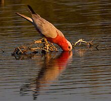 Galah having a drink by Steve Bass