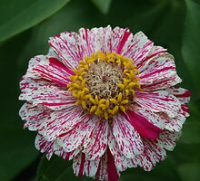 Multi-colored Zinnia by kkphoto1