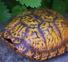 Box Turtle by Linda Costello Hinchey