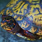 Box Turtle 2 by Linda Costello Hinchey