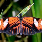 Postman, heliconius melpomene madiera by Arto Hakola