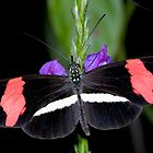 Crimson-patched longwing, heliconius erato petiverana by Arto Hakola