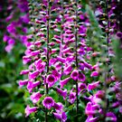Foxgloves by Paul Richards