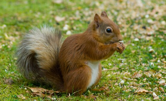 The Squirrel On Our Lawn by VoluntaryRanger