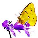 Orange Sulphur butterfly (Colias eurytheme) by Terry Bailey