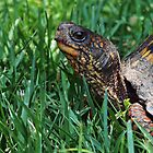 Box Turtle by Bine