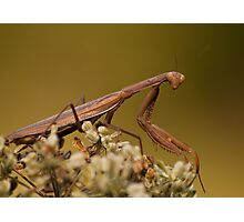 Mantis Religiosa Photographic Print