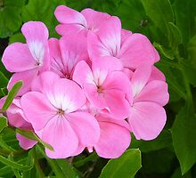 Geranium by PollyBrown