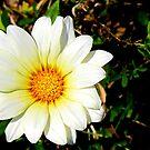 White Daisy by Nicki Baker
