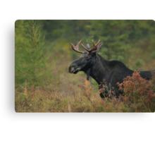 Bull Moose In Marsh Canvas Print