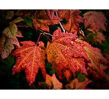 It's Show Time ~ Vine Maple ~ Photographic Print