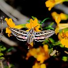 Hyles lineata, white-lined sphinx by Arto Hakola