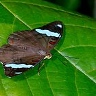 Blue-banded shoemaker, nessaea aglaura by Arto Hakola