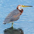 Tri-Colored Heron In The Water by Cynthia48