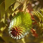 Banksia Baxteri Bud by kalaryder