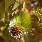 Banksia Baxteri Bud by kalaryder