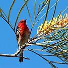 Scarlet Honeyeater. by trevorb