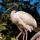 Southbank Parklands Ibis 1 by Jaxybelle