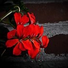 Red Flowers on brick wall by JelmervNuss