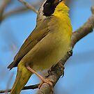 Yellowthroat Yodelling  by osprey-Ian