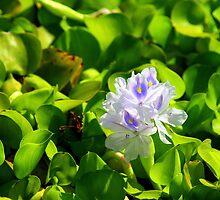 Water Hyacinth by sstarlightss