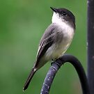Eastern Phoebe by Renee Blake