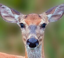White-tailed Deer Close-up by Michael Mill