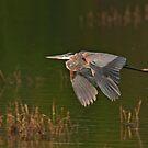 Great Blue Heron in Flight by Michael Mill