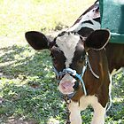 Fresian calf by cathywillett