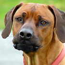Aww.. You&#x27;ve Got Chooks Running Round Your Yard - Rhodesian Ridgeback - NZ by AndreaEL