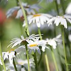 A daisy a day ... by Chris Armytage