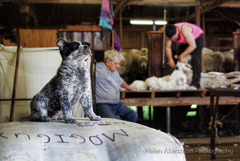 FOR SALE - CATTLE PUP! by Helen Akerstrom Photography