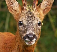 Roe Buck by Nigel Tinlin