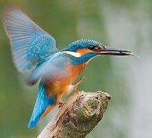 Kingfisher with Breakfast by Nigel Tinlin