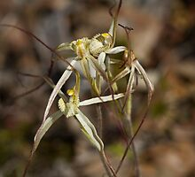 Joseph's Spider Orchid by pennyswork