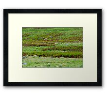 Swamp Harrier Framed Print