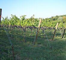 The Vineyard by Cathy Pierce Payne