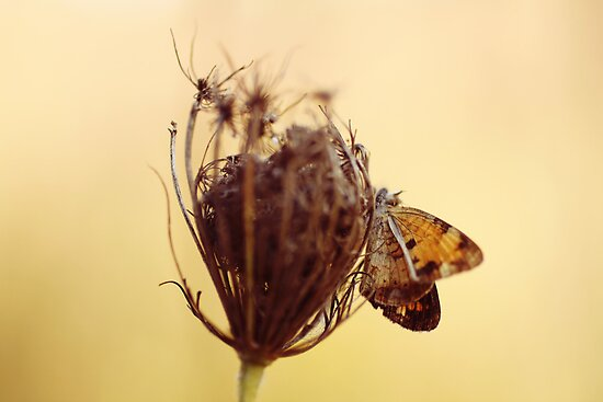golden butterfly on queen anne&#x27;s lace by beverlylefevre