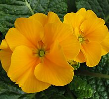 Golden Primroses by BlueMoonRose