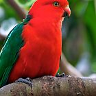Male King Parrot by Renee Hubbard Fine Art Photography