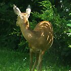 My deer by Photos - Pauline Wherrell