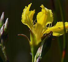 Villarsia exaltata by andrachne